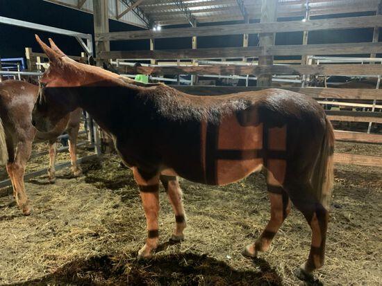 13/14 YEAR OLD HORSE MULE, BROKE TO WORK