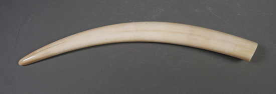 Fossil Walrus Ivory Tusk