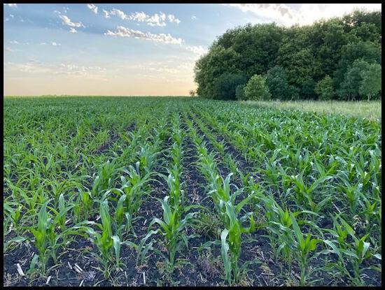 Parcel 4: 78.24 Acres (73.4 Acres Tillable), Section 31, Louriston Twp, Chippewa Co.