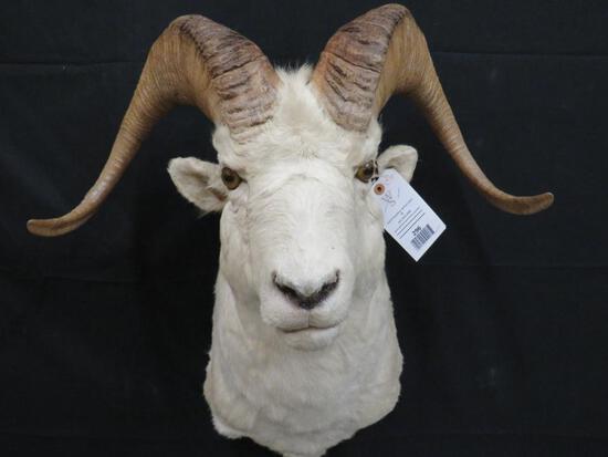 ROCKY MOUNTAIN BIG HORN SHEEP SH MT