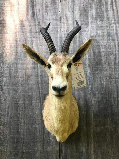 RARE, BEAUTIFUL MONGOLIAN GAZELLE SHOULDER MOUNT, with BIG HORNS. Great Taxidermy