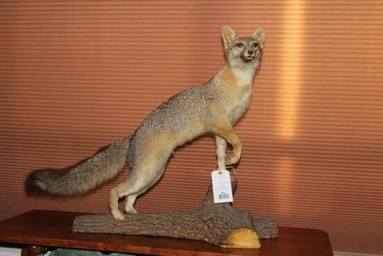 Gray Fox life-size mount