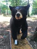 Very NICE Lifesize BLACK BEAR on nice Base, Great Taxidermy