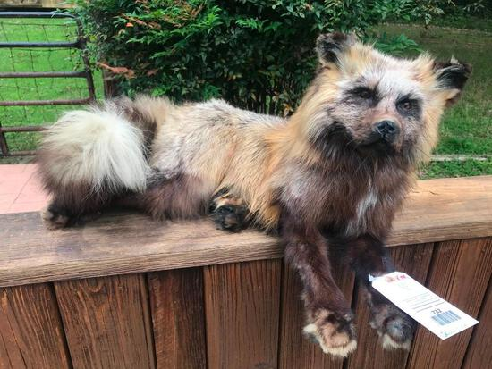 Beautiful and very large Alaskan Cross Fox laying down Life-size Taxidermy mount