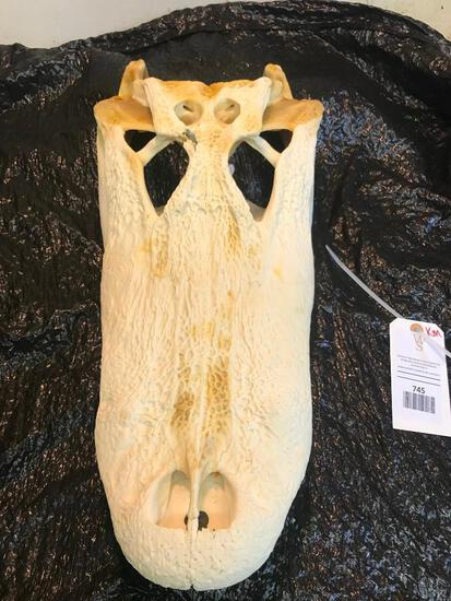MONSTER size Alligator full skull Great Oddity Taxidermy !