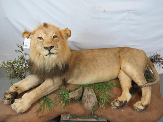 LIFESIZE LAYING LION (TX RESIDENTS ONLY)