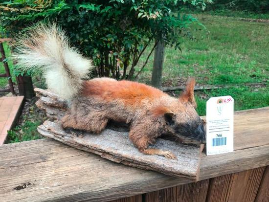 Rarely seen - Beautiful North Rim of the Grand Canyon KAIBAL Squirrel nice Taxidermy