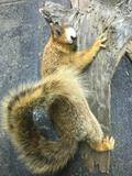 Beautiful White nosed Fox Squirrel on Wood wall hanging 33