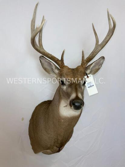 Nice Whitetail Sh Mt TAXIDERMY