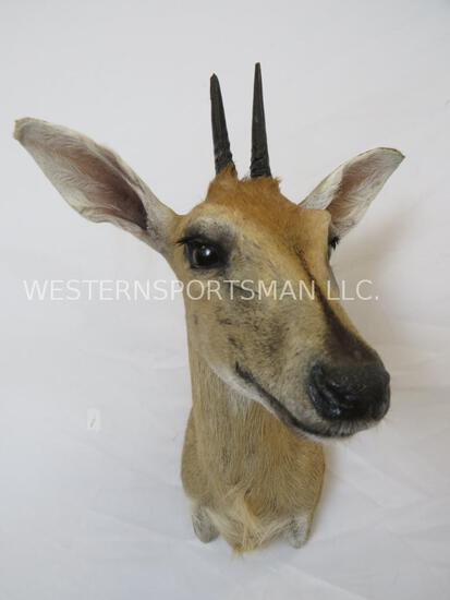 COMMON DUIKER SH MT TAXIDERMY