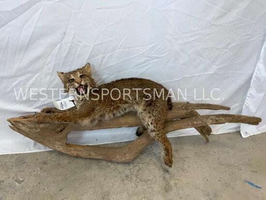 Lifesize Bobcat on Limb TAXIDERMY