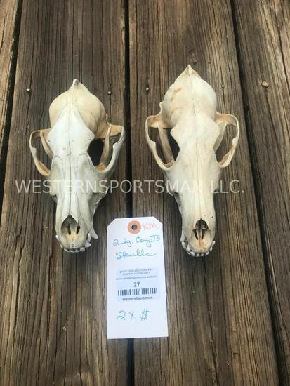 2 Lg. Coyote skulls, very Nice all teeth.... = 2 x $
