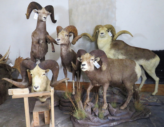 2 DAY TEXAS SIZED TAXIDERMY/WESTERN AUCTION DAY 2