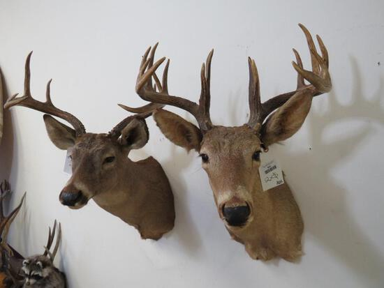2 Old Whitetail Sh Mts (2x$)