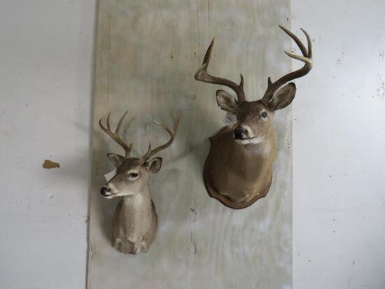 2 Whitetail S Mts (2x$) TAXIDERMY
