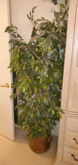 MB- 5-1/2' Natural Branch Ficus Tree