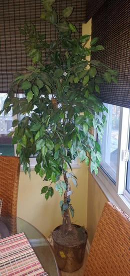 K- 6-1/2' Lighted Natural Wood Ficus Tree