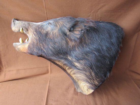 Razorback boar head mount