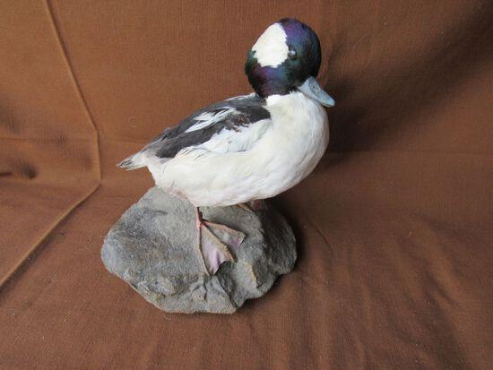 Bufflehead duck mount