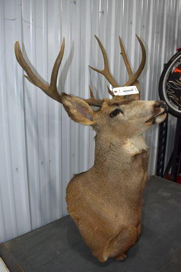 10 Point Mule Deer Shoulder Mount