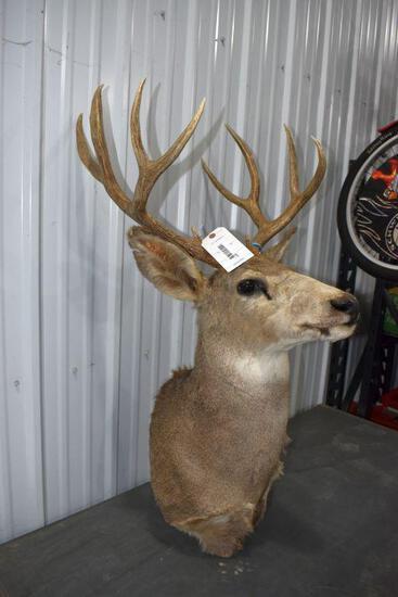 Large 8 Point White Tail Shoulder Mount Deer