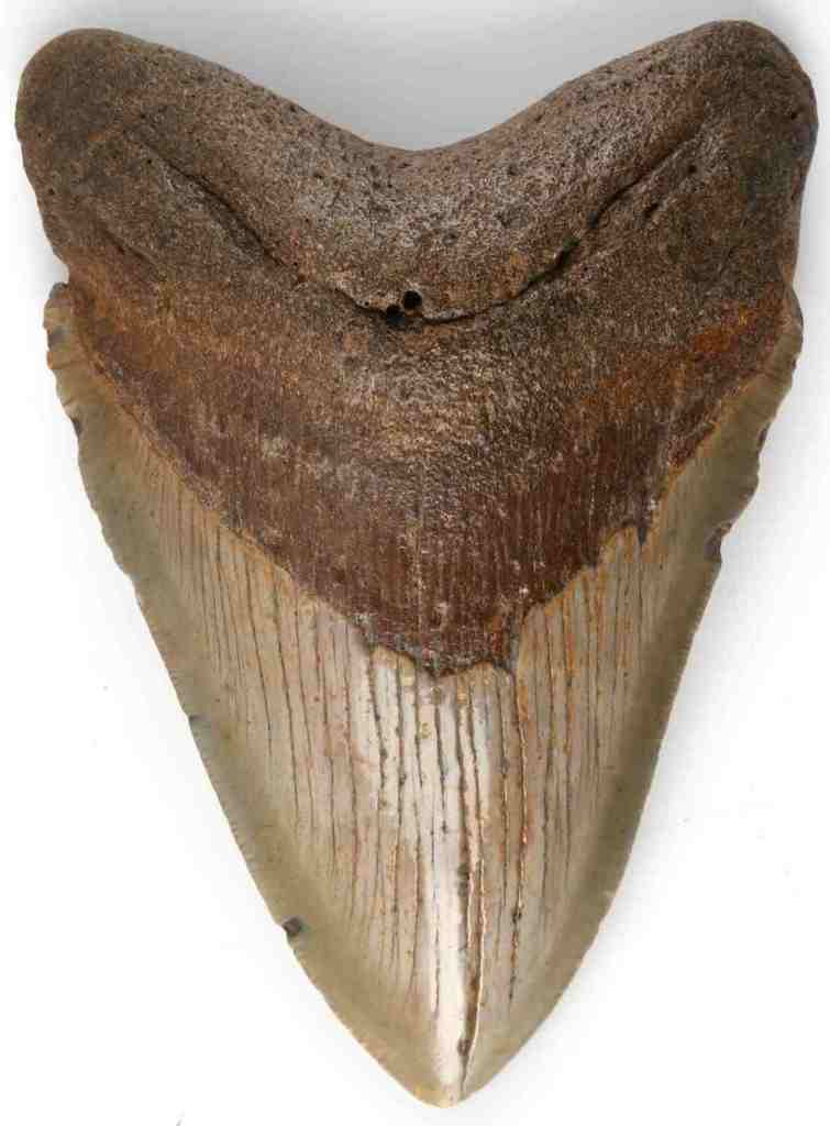 FOSSILIZED CARCHAROCLES MEGALODON SHARK TOOTH