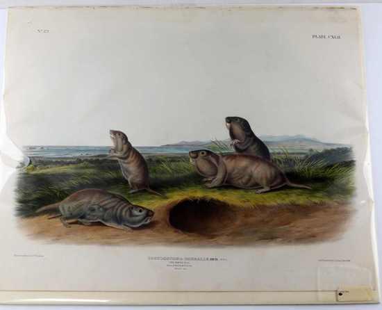 1848 JOHN JAMES AUDUBON LITHOGRAPH CAMAS RATS