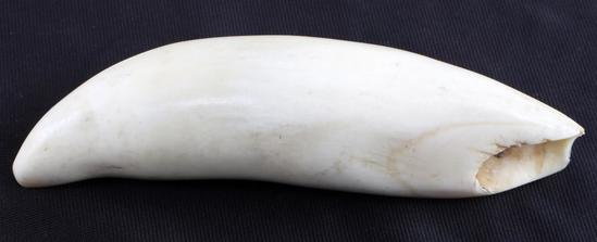 SCRIMSHAW READY RAW POLISHED WHALE TOOTH