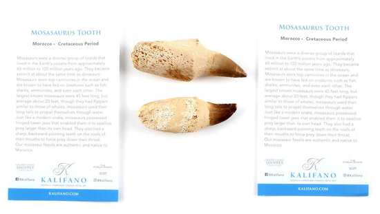 SET OF TWO MOSOSARAUS TEETH FOSSILS WITH COA