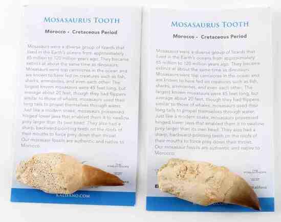 LOT OF 2 MOSASAURUS DINOSAUR FOSSIL TEETH W COA