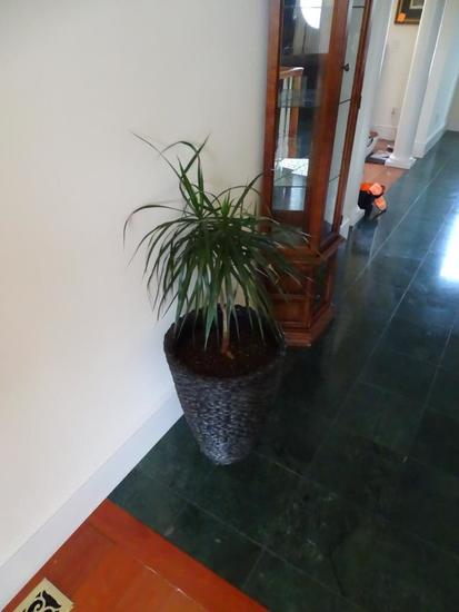 "Live plant with 36"" tall planter."