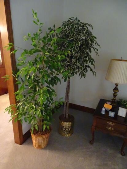 2 Ficus Trees