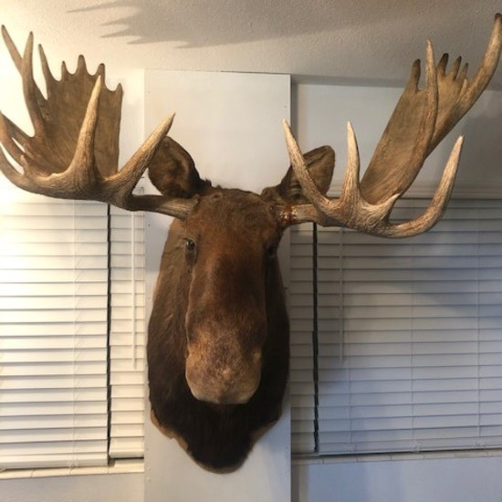Moose Mounted Head