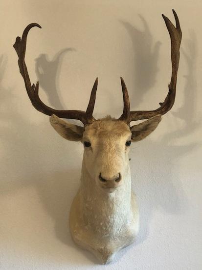 Fallow Deer Mounted Head