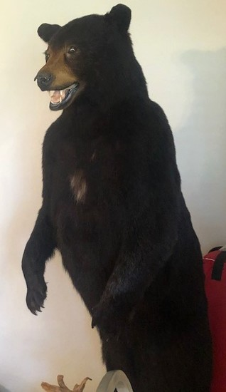 6' Black Bear Mounted (Standing Up)