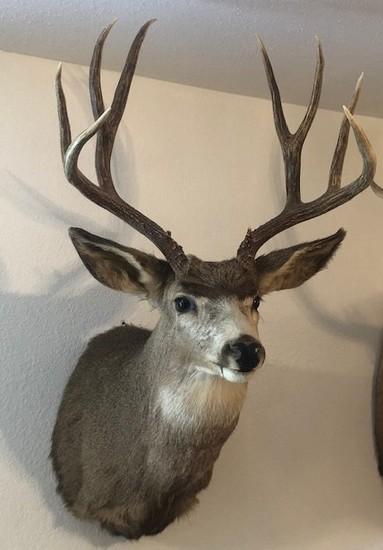 Mule Deer Mounted Head