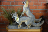 DOUBLE FULL GREY  FOX MOUNT ON TABLE TOP DISPLAY