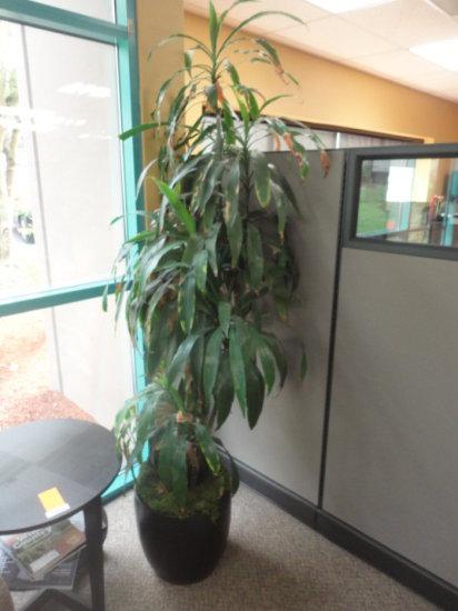 (3) OFFICE PLANTS & (1) PLANTER POT