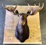 Moose Mount Taxidermy