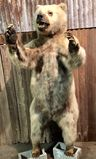 Grizzly Bear Mount Taxidermy