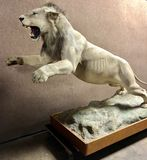 African Lion Mount Taxidermy