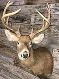 10 Point Whitetail Deer Mount Taxidermy