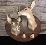 Pair of Whitetail Deer Mounted Taxidermy