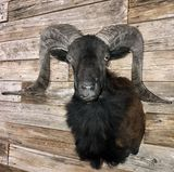 Black Coriscan Ram Mount Taxidermy