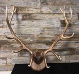 12 Point Elk Antlers Mount Taxidermy
