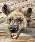 Hyena Mount Taxidermy