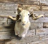 White Coriscan Ram Mount Taxidermy
