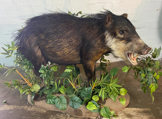 Full Body Mount Boar Animal Taxidermy