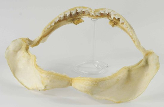 Large Taxidermy Tiger Shark Jaw with Teeth