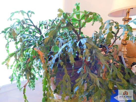 Large Christmas cactus approximately 20 years old (stand not included)
